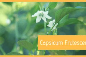 Specie Capsicum Frutescens