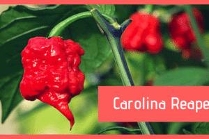Carolina Reaper, il peperoncino più piccante al mondo