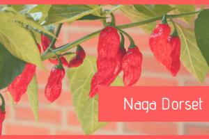 Naga Dorset: caratteristiche, coltivazione ed essiccazione