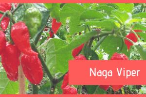 Pianta Naga Viper